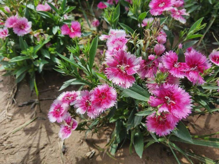 flowers, qinghai